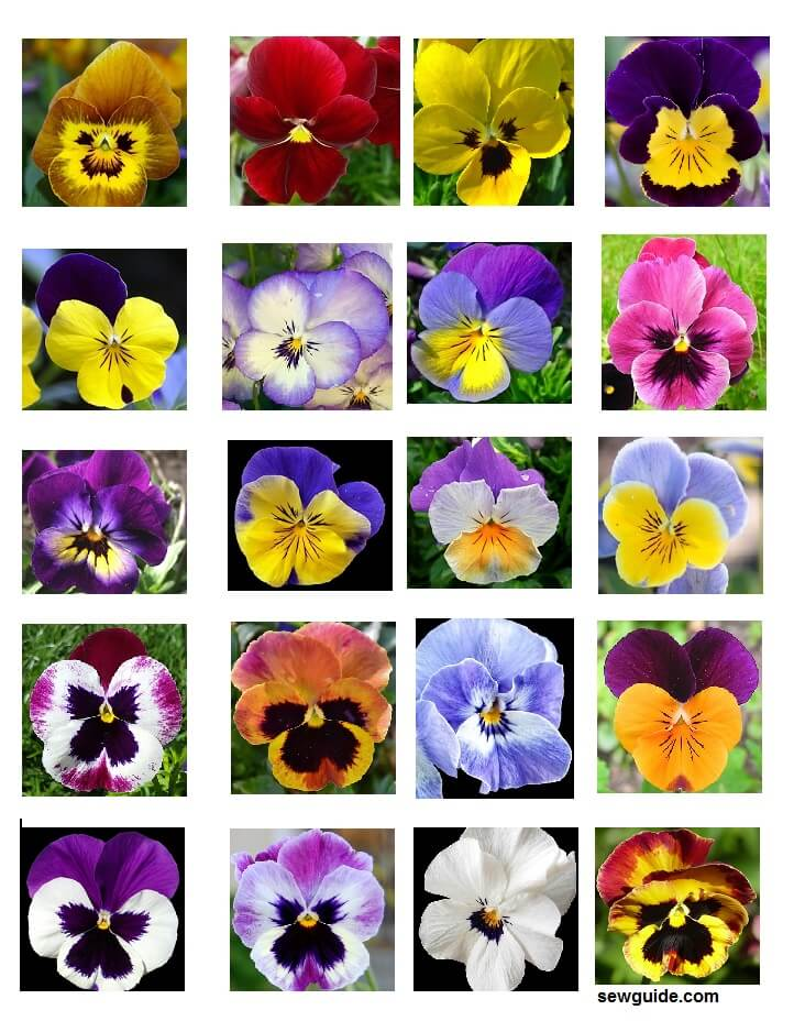 pansy images