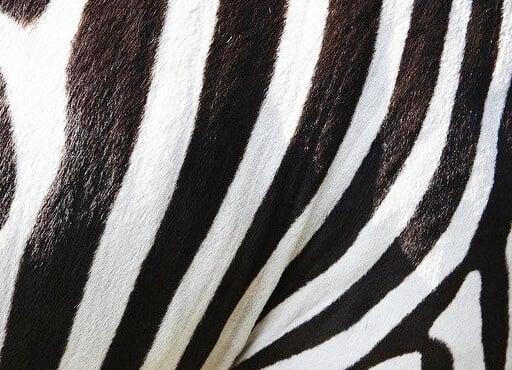 zebra animal prints